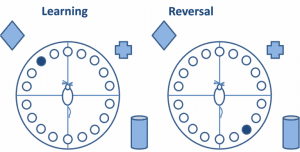 Barnes-Maze-Figure-learning-and-reversal-of-hippocampal-learning